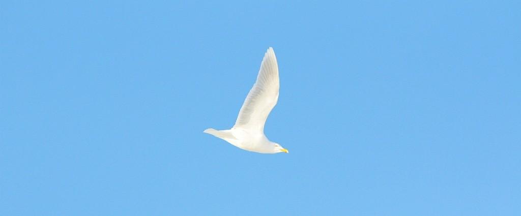 Bjørnøya er et eldorado for sjøfugl. Blant 126 registrerte arter finnes en tallrik koloni av polarmåke.