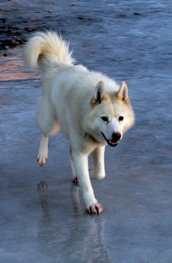 Aki (9), en sibirsk husky, er en av fire trofaste følgesvenner ut på tur.